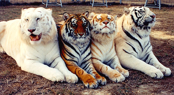 Essay-On-Tiger-For-Students-038-Children-In-Simple-English