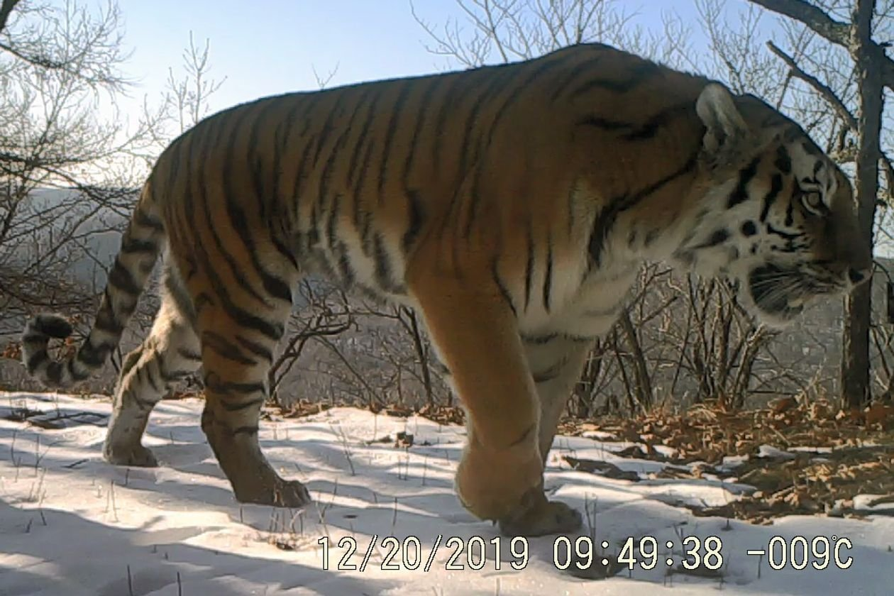 1633956757_140_The-Tiger-Is-Making-a-Tentative-Comeback-in-Chinas-North
