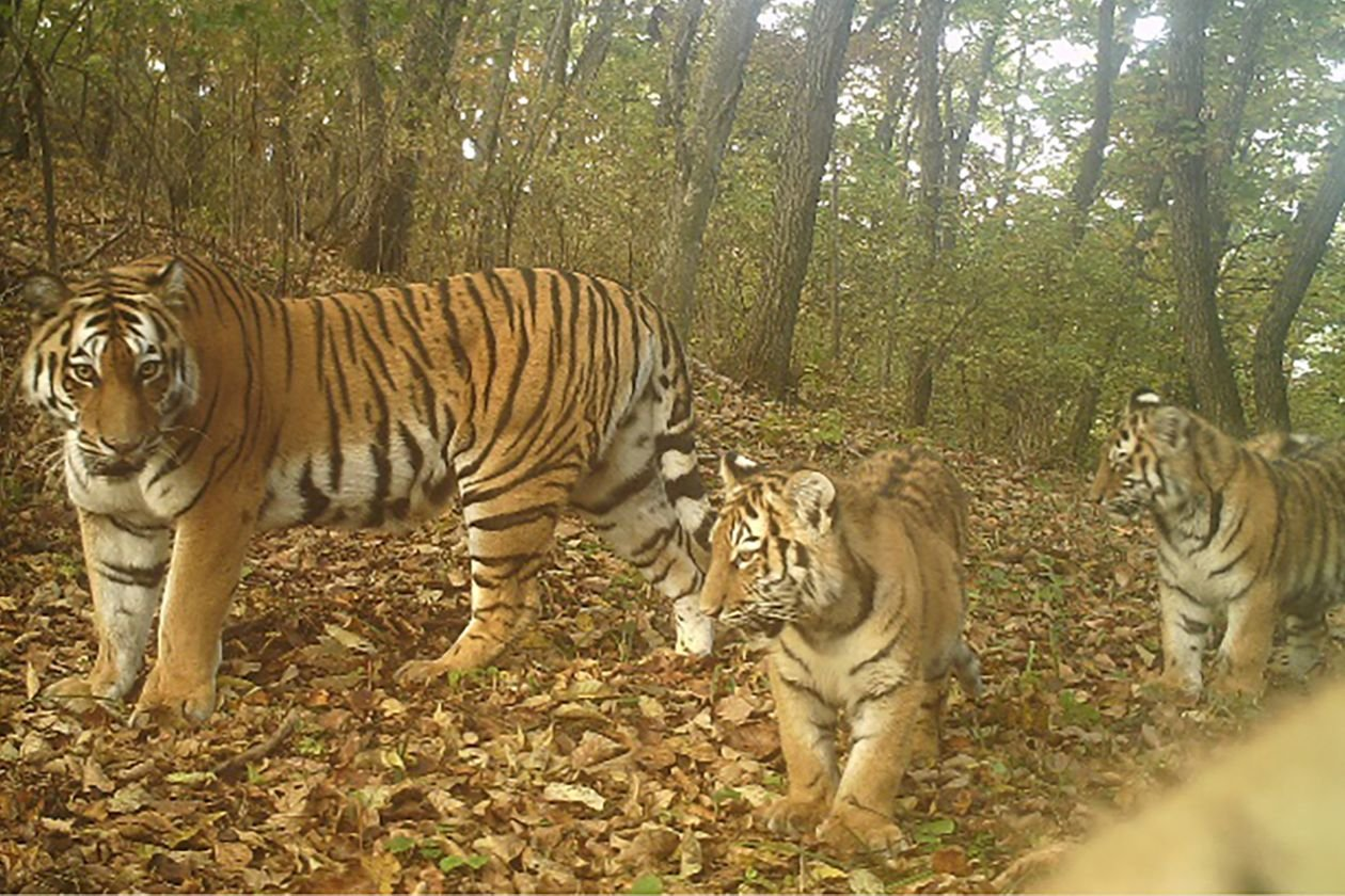 1633956758_148_The-Tiger-Is-Making-a-Tentative-Comeback-in-Chinas-North